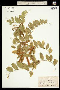 Image of Lathyrus maritimus