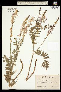 Image of Hedysarum alpinum