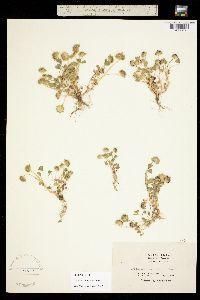 Image of Trifolium barbigerum