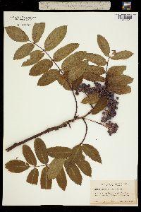 Image of Sorbus decora