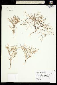 Image of Eriogonum puberulum