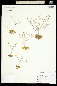 Image of Eriogonum rubricaule