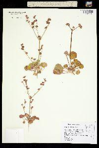 Image of Eriogonum lemmonii