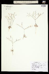 Image of Eriogonum deflexum