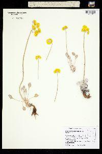 Image of Eriogonum strictum