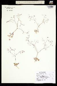 Image of Eriogonum watsonii