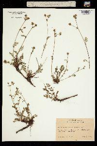 Image of Horkelia daucifolia