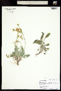 Packera cana image