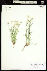 Erigeron engelmannii image
