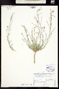 Image of Boechera crandallii