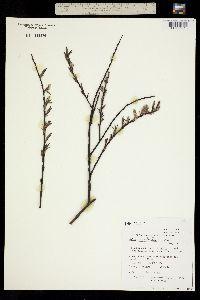 Salix gracilis image
