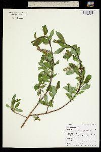 Salix monticola image