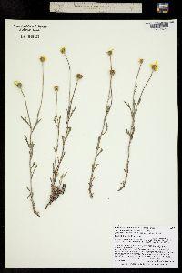 Image of Eriophyllum lanatum