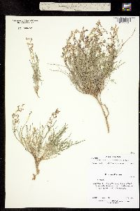 Image of Astragalus miser