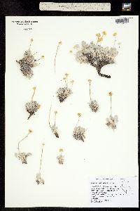 Image of Eriogonum anemophilum