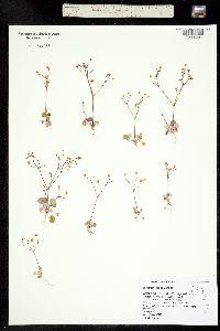 Image of Eriogonum collinum