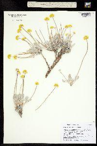 Image of Eriogonum crosbyae