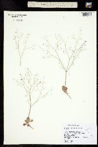 Image of Eriogonum esmeraldense