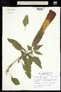 Image of Brugmansia sanguinea