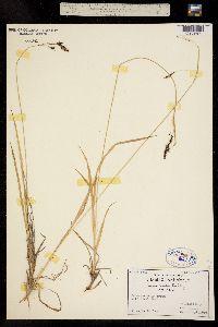 Carex bella image