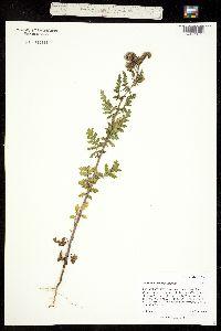 Image of Phacelia denticulata