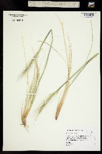 Image of Achnatherum speciosum