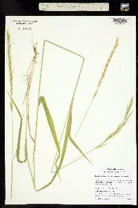 Image of Brachypodium sylvaticum