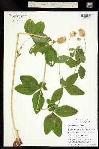 Trifolium howellii image