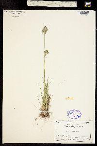 Image of Poa cusickii