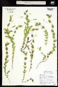Image of Lathyrus aphaca