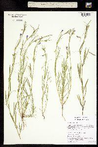Image of Lathyrus angulatus