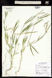 Image of Lathyrus sphaericus