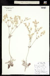 Image of Eriogonum niveum