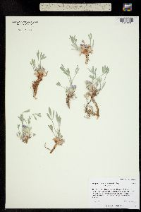 Astragalus tridactylicus image