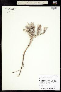 Image of Eriogonum pelinophilum