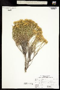 Chrysothamnus greenei image
