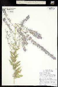 Perovskia atriplicifolia image