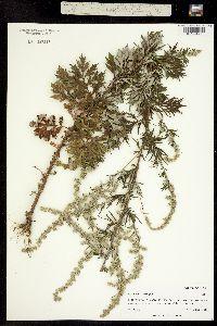 Image of Artemisia lessingiana