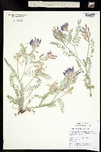 Image of Astragalus inflexus