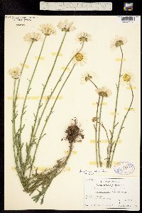 Image of Leucanthemum vulgare