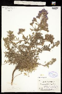 Phacelia glandulosa image