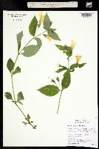 Image of Mimulus dentatus