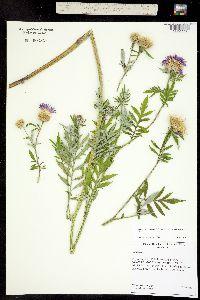 Centaurea hypoleuca image