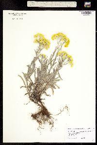 Image of Helichrysum tianshanicum