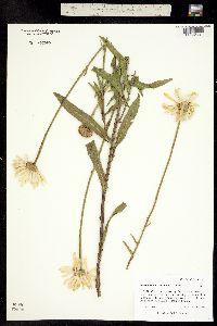 Image of Leucanthemum maximum