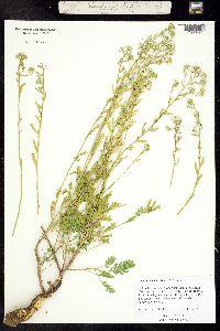Image of Lepidium huberi