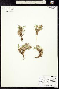 Image of Trifolium nanum
