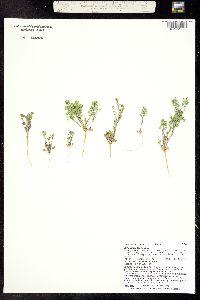 Image of Lepidium lasiocarpum