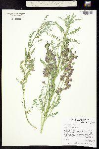 Image of Sphaerophysa salsula