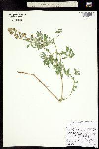 Image of Lupinus fulcratus
